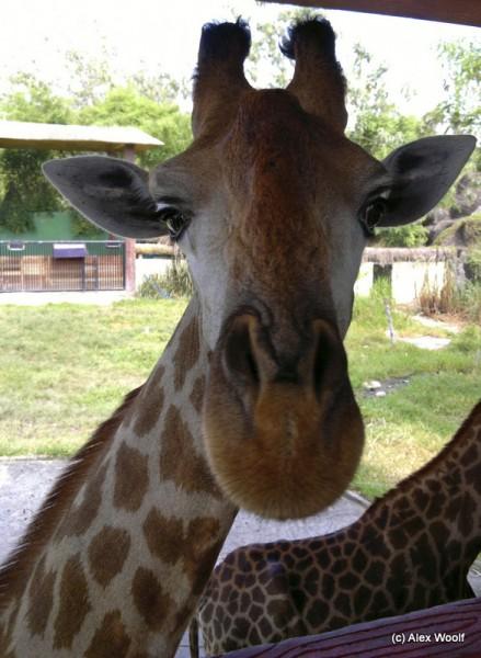 Любопытная жирафа
