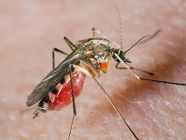 komar1